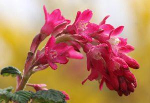 Zierjohannisbeerenblüte